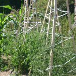 Cages à tomates pour laisser pousser sans tailler