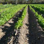 Semis en pleine terre et permaculture ?