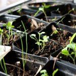 Réaliser des semis dans la maison