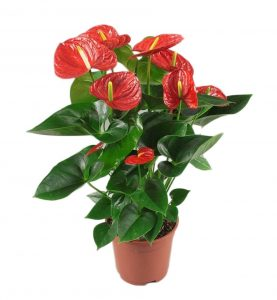 anthurium-red-winner