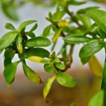 Bonsaï feuilles jaunes