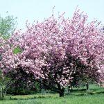 Taille des cerisiers