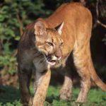 Quel chien peut tuer un lion ?