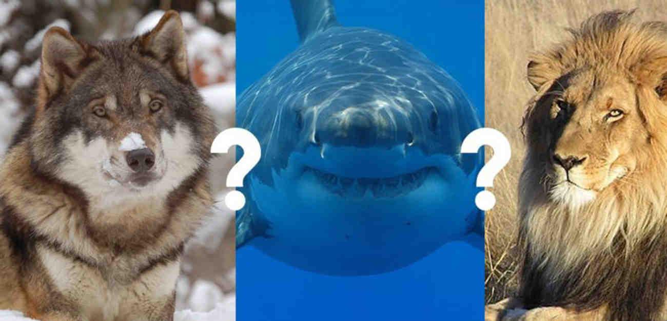 Quel chien peut tuer un loup ?