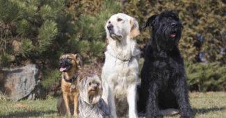 Quel chien prendre à 60 ans ?
