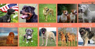 Quel est le chien le plus dangereux du monde ?