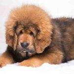 Quel est le deuxième chien le plus dangereux au monde ?