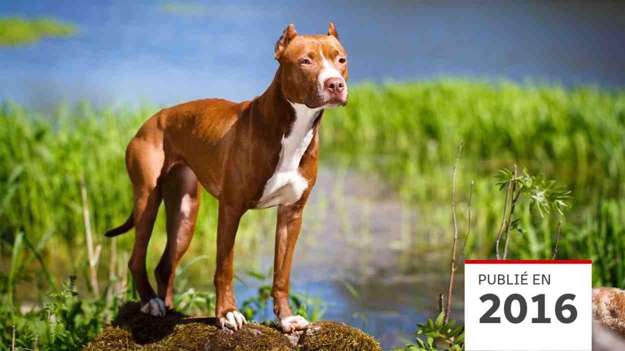 Quel est le deuxième chien le plus dangereux du monde ?