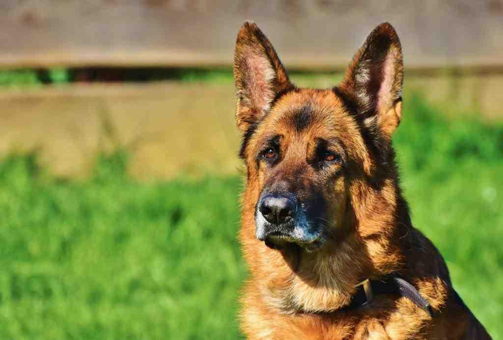 Quel est le meilleur chien du monde ?