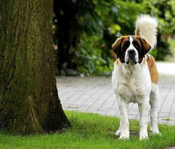 Quel petit chien calme et affectueux ?