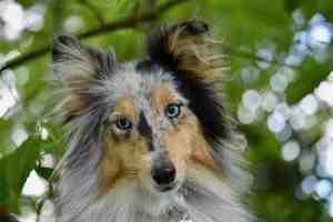 Quel race de chien peut rester seul à la maison ?