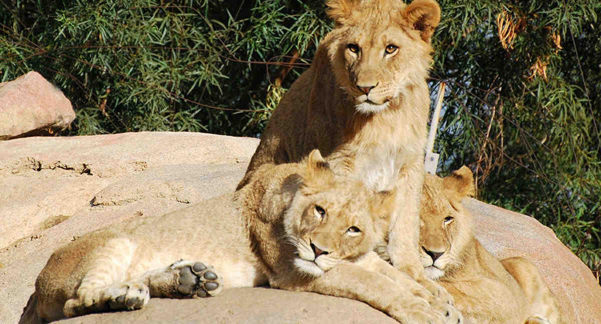 Quel race de chien peut tuer un lion ?