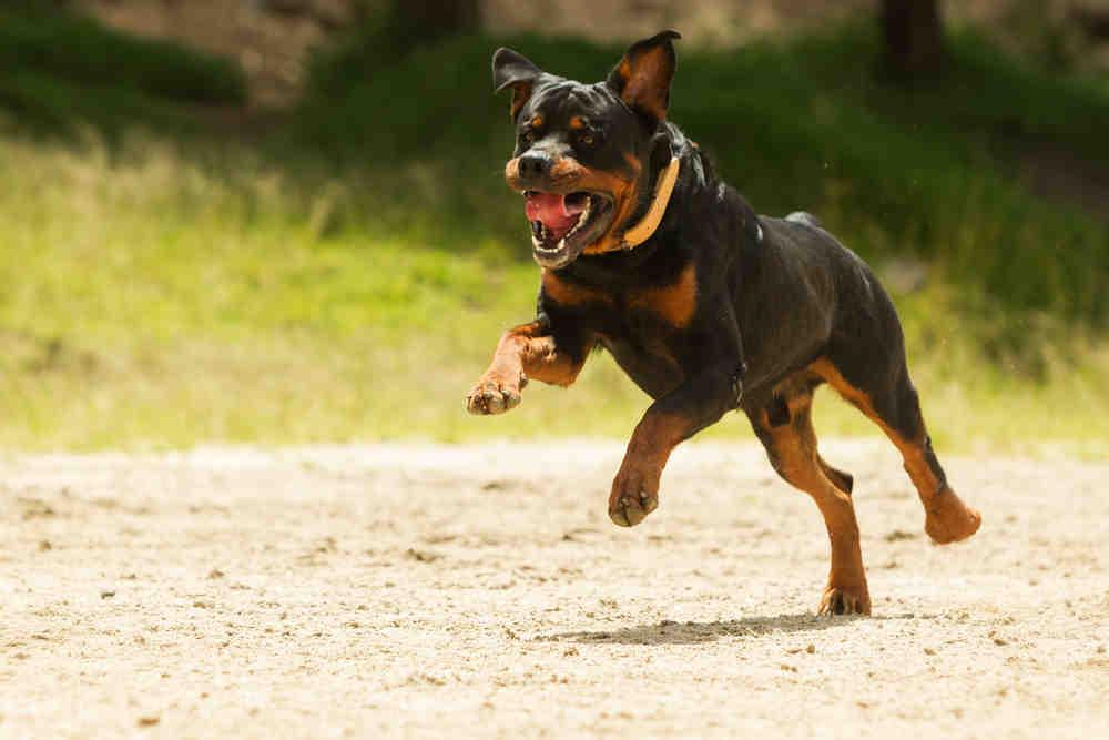 Quelle est la pire race de chien ?
