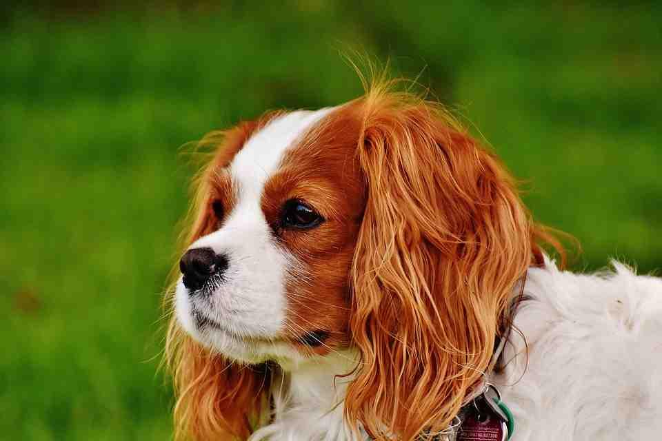 Quelle est la race de chien la plus calme ?