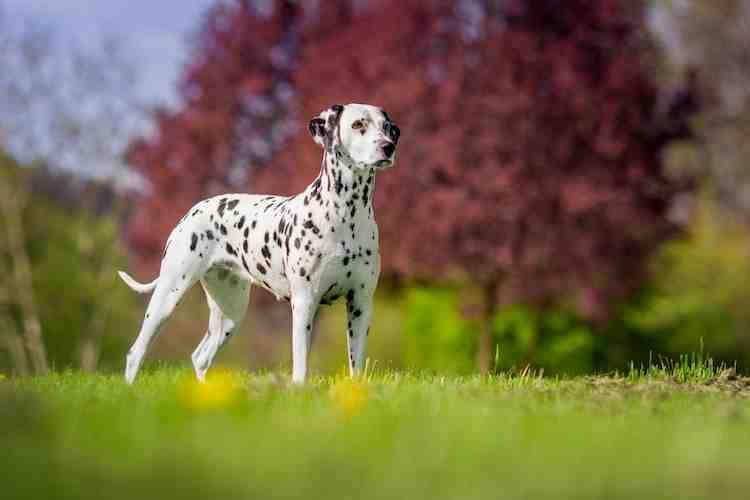 Quelle est la race de chien la plus chère au monde ?