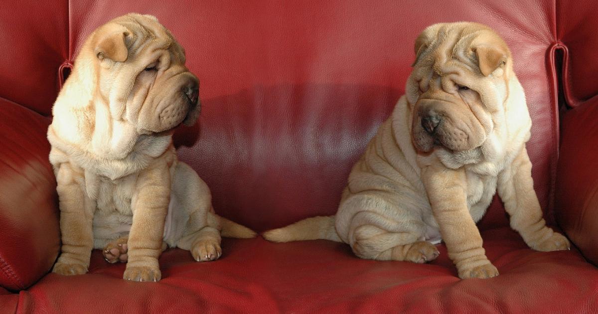 Quelle est la race de chien la plus facile à vivre ?