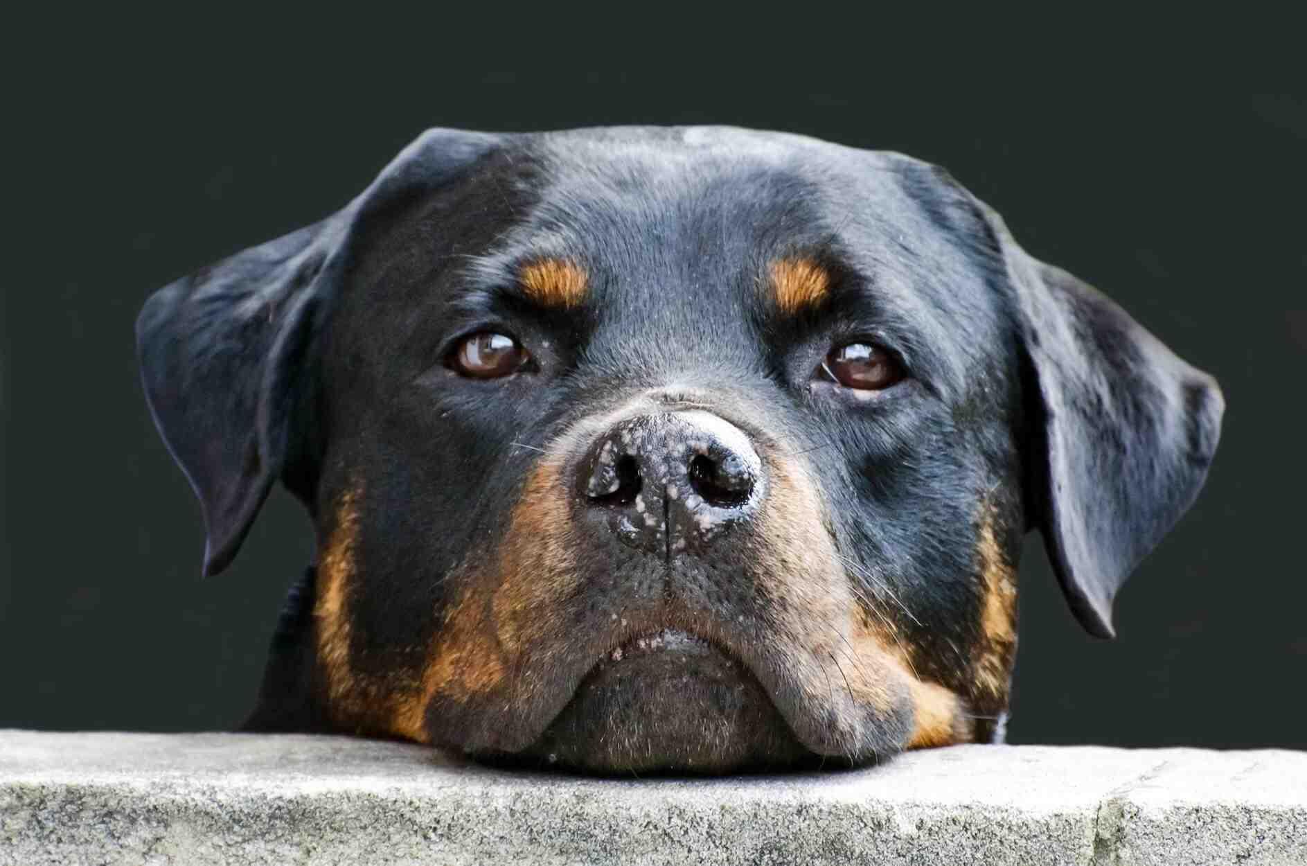 Quelle est la race de chien la plus gentille ?