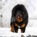 Quelle est la race de chien qui coûte le moins cher ?