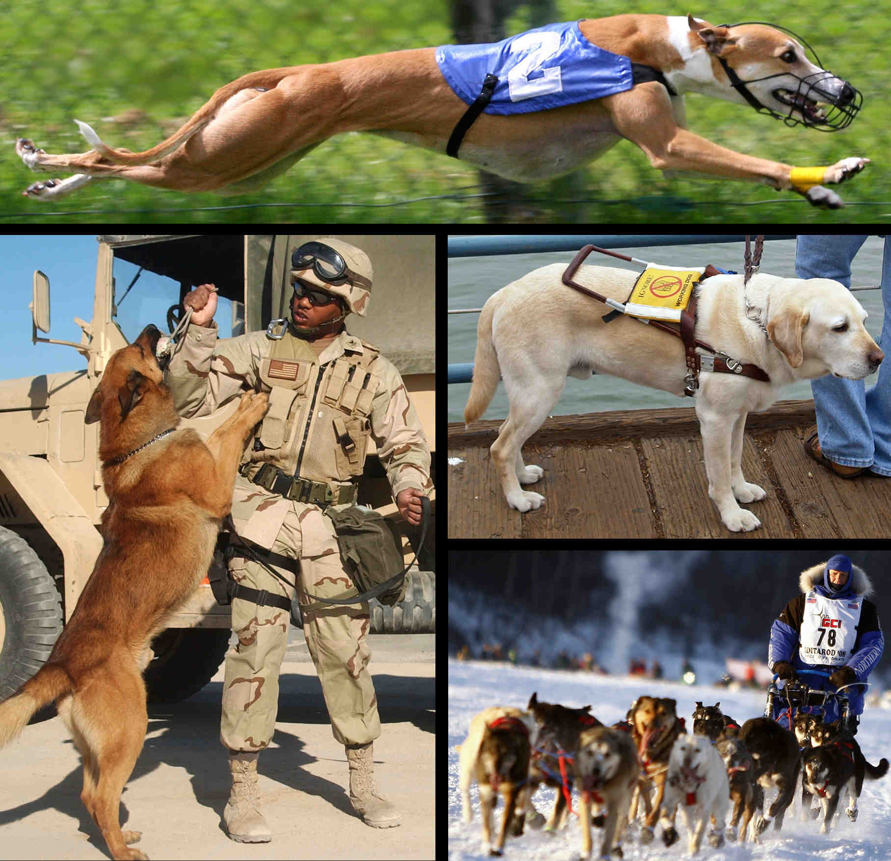 Quelle race de chien est interdit en France ?