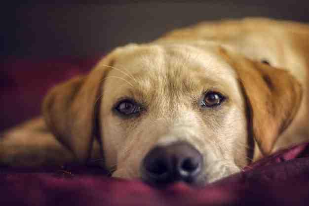 Quelles sont les races de chien les plus affectueux ?