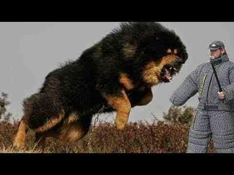 Quels sont les 10 chiens les plus dangereux du monde ?