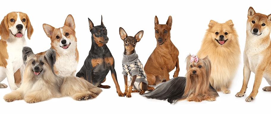 Quels sont les meilleurs chiens de compagnie ?